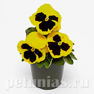 Виола Inspire Deluxxe Yellow Blotch - 5 шт