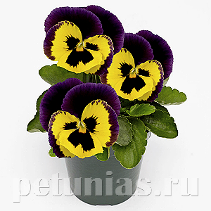 Виола Inspire Plus Yellow Purple Face - 5 шт