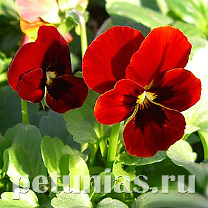 Виола Penny Red Blotch - 5 шт