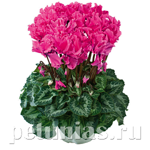 Цикламен Halios Curly Deep Rose - 3 шт
