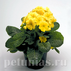 Примула Crescendo Yellow - 5 шт
