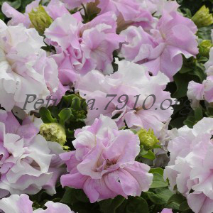 ������� �������� Double Cascade Orchid Mist - 10 ��