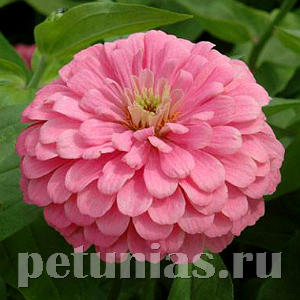 Цинния Benary's Giant Bright Pink - 5 шт