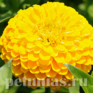 Цинния Benary's Giant Golden Yellow - 5 шт