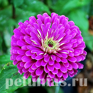 Цинния Benary's Giant Lilac - 5 шт
