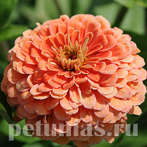 Цинния Benary's Giant Salmon Rose - 5 шт