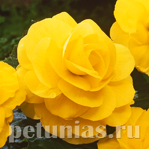 Бегония AmeriHybrid Roseform Yellow - 5 шт