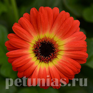 Гербера Colorbloom Bicolor Orange Yellow - 3 шт