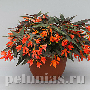 Бегония boliviensis Bossa Nova Night Fever Papaya - 3 шт