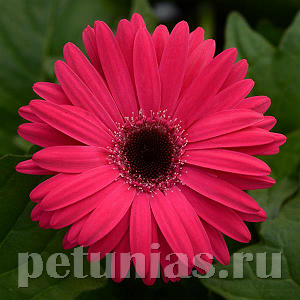 Гербера Mega Revolution Rose Bright Dark Eye - 3 шт
