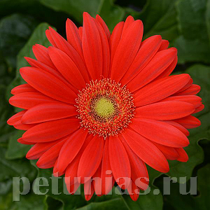 Гербера Colorbloom Red Light Eye - 3 шт