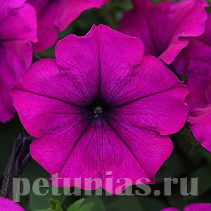 2019 Петуния Easy Wave Violet Improved - 5 шт