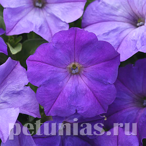 2020 Петуния Easy Wave Lavender Sky Blue - 5 шт
