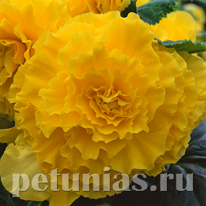 Бегония AmeriHybrid Ruffled Yellow - 5 шт