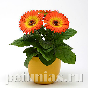 Гербера Revolution Bicolor Yellow Orange - 3 шт