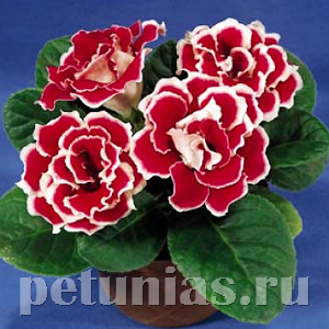 Глоксиния Brocade Red and White - 5 шт