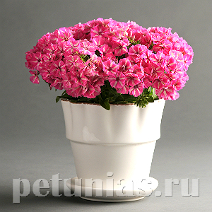 Флокс Grammy Pink White - 5 шт
