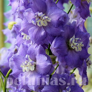 Дельфиниум NZ Lilac Ladies - 3 шт