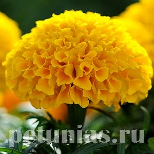 Бархатцы Taishan Gold Improved - 5 шт