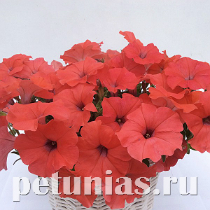 Петуния гибридная Amore Mio Orange Red - 5 шт