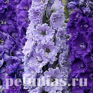 Дельфиниум NZ New Millennium Purple Stars - 3 шт
