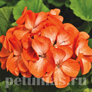 Пеларгония Pinto Premium Orange Bicolor - 3 шт