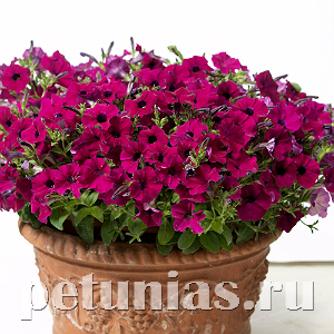 Петуния Baby Gioconda Purple - 5 шт