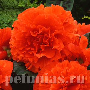 2019 Бегония AmeriHybrid Ruffled Orange Mandarin - 5 шт