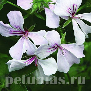 Пеларгония Summer Showers White Blush - 3 шт