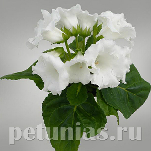 Глоксиния MultiBells White - 5 шт