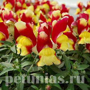 Антирринум Snappy Red and Yellow - 10 шт