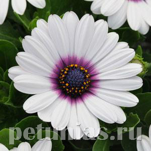 Остеоспермум Akila White Purple Eye - 3 шт