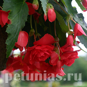 Бегония Illumination Rose - 5 шт