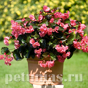 Бегония Big Rose Bronze Leaf - 3 шт