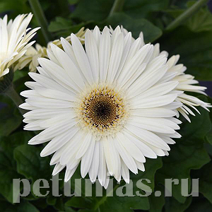 Гербера Colorbloom White Dark Eye - 3 шт