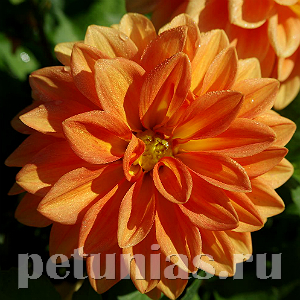 Георгина Figaro Orange Shades - 10 шт