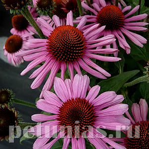 Эхинацея Prairie Splendor Deep Rose - 5 шт