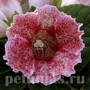 Глоксиния Empress Red Spotted - 5 шт