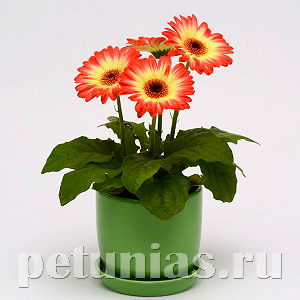 Гербера Revolution Bicolor Red Lemon - 3 шт