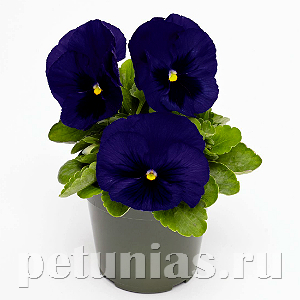 Виола Inspire Deluxxe Deep Blue Blotch - 5 шт
