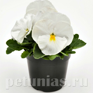 Виола Inspire Deluxxe White Improved - 5 шт