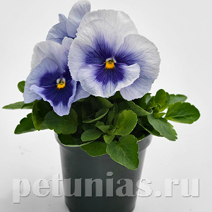 Виола Inspire Plus Metallic Blue Blotch - 5 шт