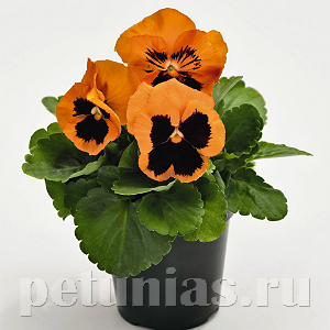 Виола Inspire Plus Orange Blotch - 5 шт