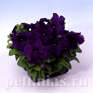 Петуния Limbo GP Deep Purple - 50 шт