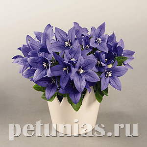 2018 Платикодон Pop Star Blue - 5 шт