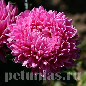 Астра Pot'n Patio Pink - 20 шт