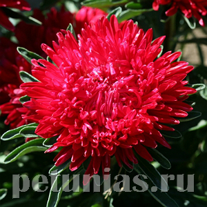 Астра Pot'n Patio Scarlet - 20 шт