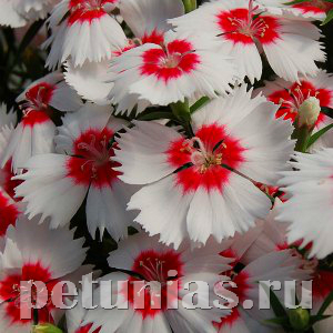 Гвоздика Diana Red centred White - 5 шт