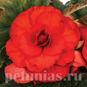 Бегония AmeriHybrid Roseform Scarlet Orange - 5 шт