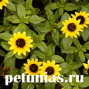 Санвиталия Yellow Black Center - 10 шт